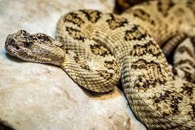love bite snake bites florida man who tries to kiss it houston