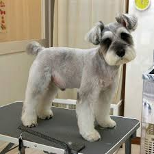 schnauzer hair styles pretty i m getting zoey s hair cut like this next time she gets
