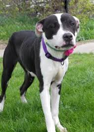 american pitbull terrier yavru a personal introduction to a mcnab dog collie and dog