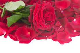 fresh petals fresh crimson with petals border stock image image of