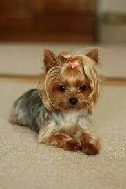 12915 best yorkshire terrier images on pinterest yorkie
