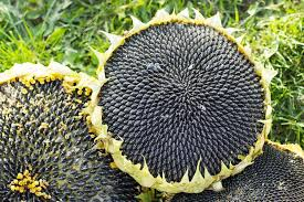 hats sunflower seeds ripe black sunflower seeds in the autumn g