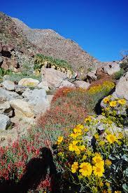 anza borrego wildflowers wildflowers anza borrego desert park