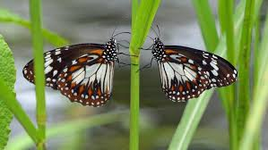 butterflies black and white tiger danaus affinis sw hd wallpaper