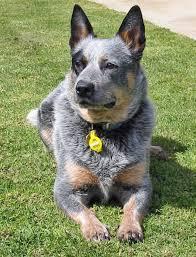 australian shepherd cattle dog 642 best australian cattle dog love images on pinterest