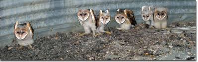 Where Does The Barn Owl Live Kentucky Department Of Fish U0026 Wildlife Barn Owls In Kentucky