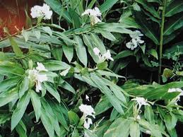 butterfly lilies how to grow and care for butterfly plants