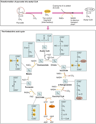 2507 the krebs cycle jpg
