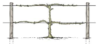 build grape trellis how to prune grape vines control crabgrass and protect plants