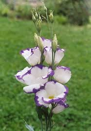 lisianthus flower how to grow lisianthus