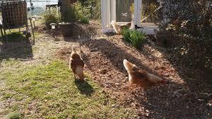 lake norman coop de ville backyard chickens