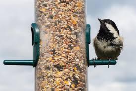 do sunflower seeds go bad spoiled birdseed