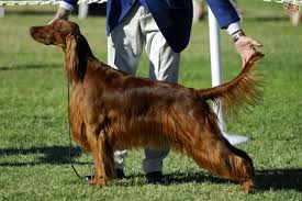 boxer dog crufts 2015 what dog breeds have been most successful at crufts pets4homes