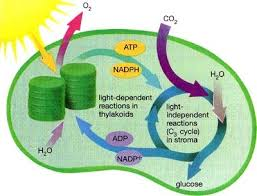 What Happens During The Light Dependent Reactions Of Photosynthesis Light Independent Reaction The A Level Biologist Your Hub