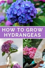 hydrangea best 25 hydrangeas ideas on pinterest hydrangea all colours