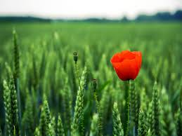 poppy flower images and wallpapers download