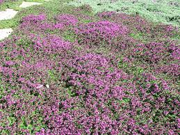 creeping thyme pathway ground cover garden