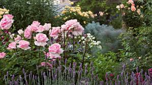 homelife how to prune roses