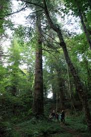 ireland s tallest tree discovered at powerscourt
