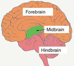Image Of Brain Anatomy 1 Brain Anatomy Btt Sose 2017 Tum Wiki