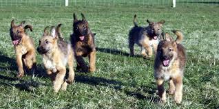 belgian sheepdog apartment belgian shepherd laekenois information characteristics facts