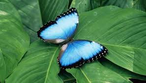 what type of shelter does a morpho butterfly need animals me