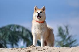 ikea dogs akita dog wikipedia