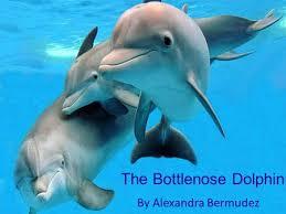 Male Dolphin Anatomy Dolphin Habitat Shark Reef Dolphin Kingdom Animalia Phylum