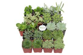 amazon com shop succulents green succulent collection of 20