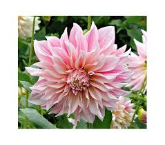 dahlias flowers how to grow dahlias