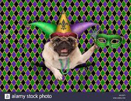 mardi gras jester ribbon dog mardi gras background stock photos mardi gras background stock