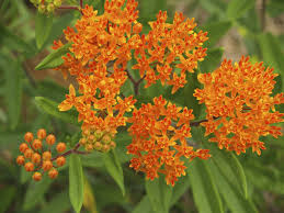 native plants that attract butterflies what is a butterfly weed u2013 how to grow butterfly weed in the