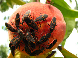 backyard pests of ripening fruit u2013 ipm pest advisories