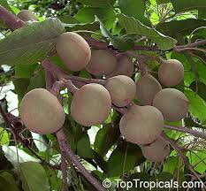 kukui nut tropical plant catalog toptropicals