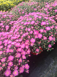 fall mums u2014 schlegel greenhouse