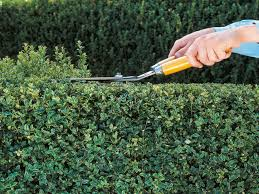pruning and shaping hedges how to trim hedges hgtv