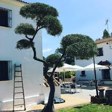 love cloud pruning this is an olive tree at my friend place in