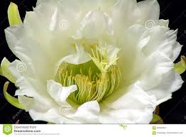 queen of the night cactus flowers stock photo image 84262334