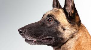 belgian shepherd labrador retriever mix belgian malinois dog breed information american kennel club