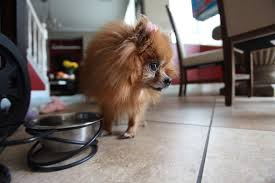 how to stop your pomeranian barking incessantly