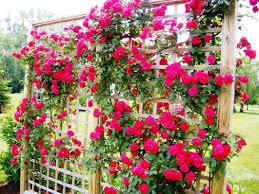 trellis plans best rose trellis ideas