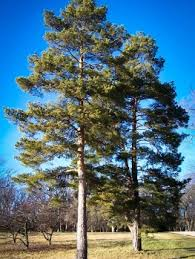 pine trees for sale the tree center