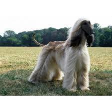 afghan hound king of dogs afghan hound dog breeds dog com