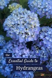native plants of france best 25 snowball plant ideas on pinterest hydrangea climbers