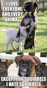 Funny Boxer Dog Memes - image tagged in boxer dog funny meme pets imgflip