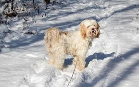 Living With A Blind Dog Tibetan Terrier Dog Breed Information Pictures Characteristics
