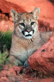 Utah wild animals images Mountain lions bears rattlesnakes 39 oh my 39 summer sightings in jpg