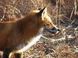 Delaware travel fox images Red fox the nature of delaware jpg
