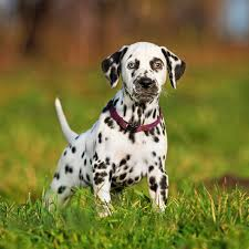 Causes Of Sudden Blindness In Dogs Under Pressure Symptoms And Treatment For Glaucoma In Dogs
