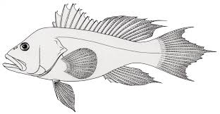 free fish coloring pages saltwater glum